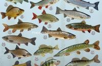 nowy plakat -rybki-mała