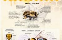 Budowa pszczoły