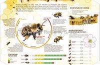 pszczoła - pracowity supermózg
